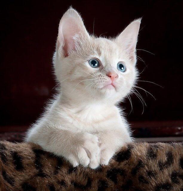 Figyel a kiscica