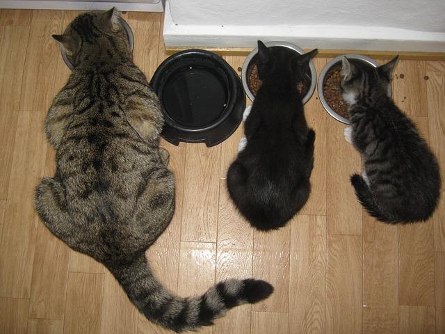 Kiscicák hozzátáplálása - itt már az anyjukkal együtt esznek