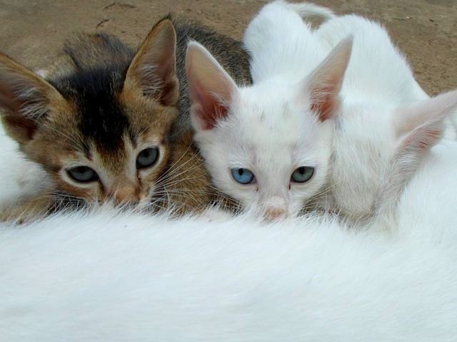 Kölyök macskák szopnak
