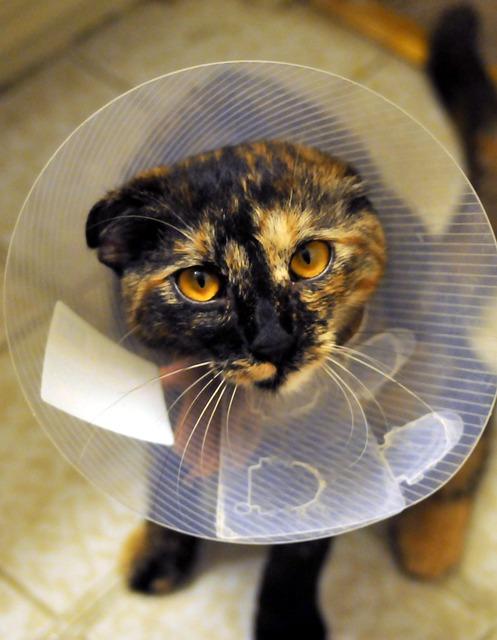 Műtét után - cicagallér, hogy ne piszkálja a sebet
