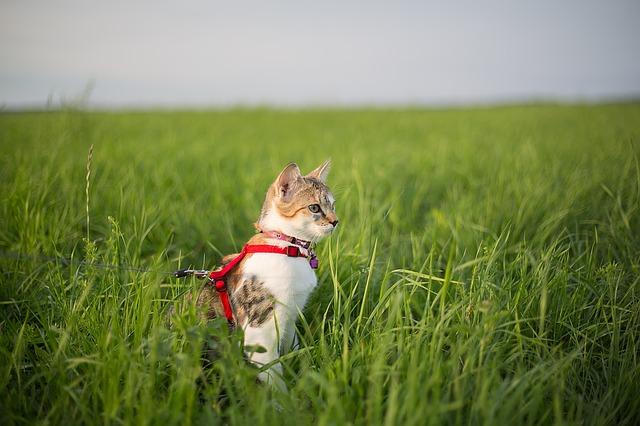 Macska hámmal