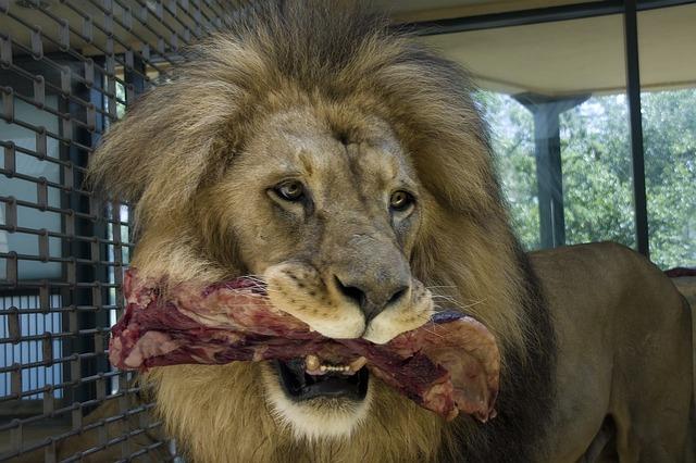 Oroszlán hússal a szájában