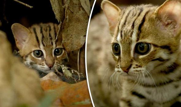 A világ legkisebb macskája közelről
