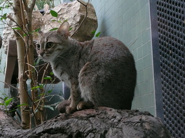 Rozsdafoltos macska a berlini állatkertben