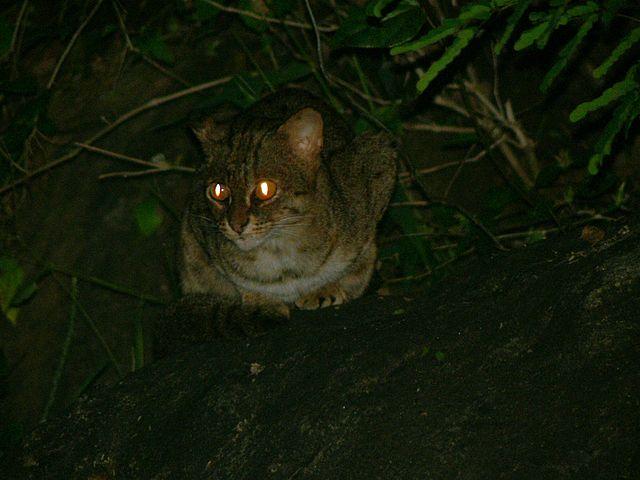 Rozsdafoltos macska éjszaka