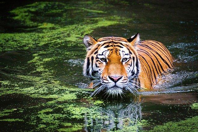 Tigris a vízben