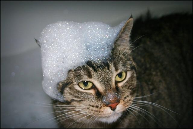 Habfürdőző macska