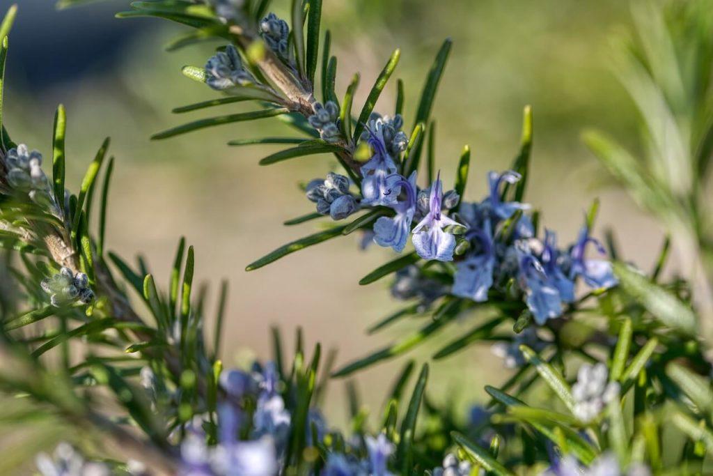 Virágzó rozmaring